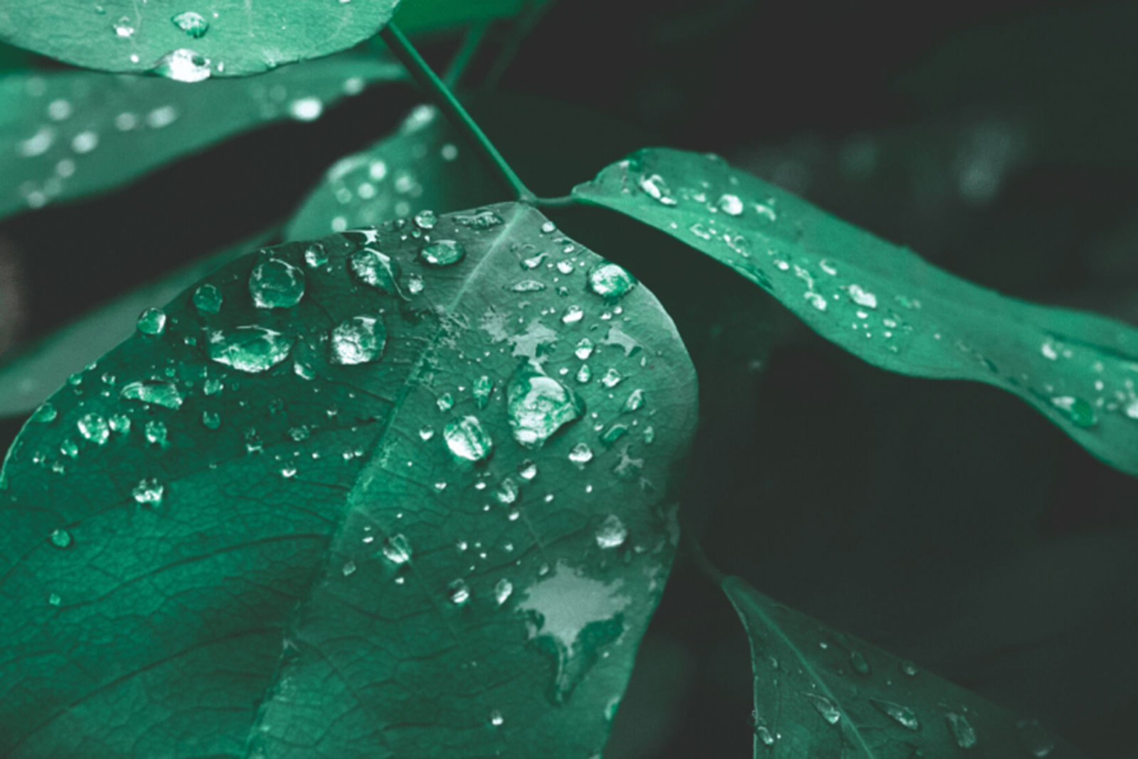 photo of green leaves with water droplets on them